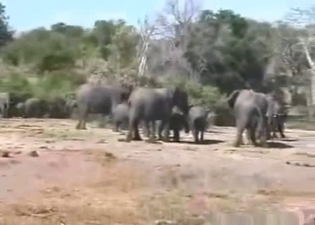African elephants fucks in the desert