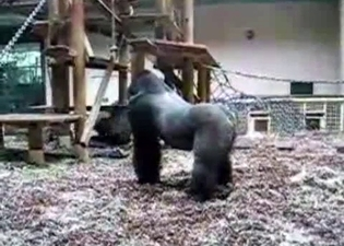 Brutal black gorillas fuck in the zoo